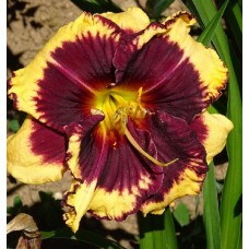 Bulbi hemerocallis Tiger Blood - 1 bucată