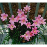 Bulbi zephyranthes robustus (habranthus) - Pachet 8 bulbi