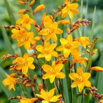 Pachet 100 bulbi crocosmia Sunglow