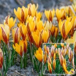 Bulbi crocus Early Gold - Pachet 10 bucăți