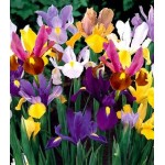 Pachet 100 bulbi iris hollandica mixt