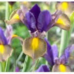 Bulbi iris hollandica Gipsy Beauty