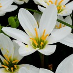 Bulbi zephyranthes candida (crinul zanelor, crinul magic)