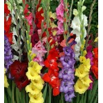 Bulbi gladiole mixte
