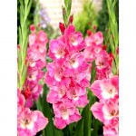 Pachet 100 bulbi gladiole Pink Parrot