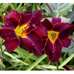Pachet 10 bulbi hemerocallis Ed Murray, bulbi MARI !!!