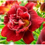Pachet 3 bulbi hemerocallis Double Red Royal, bulbi MARI!, flori PARFUMATE