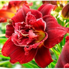 Bulbi hemerocallis Double Red Royal- 1 bucată, bulbi MARI !!!