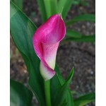 Bulbi cale (zantedeschia) Purple Sensation - 1 bucată