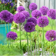 Bulbi allium  Purple Sensation - Pachet 2 bucăți, bulbi MARI !