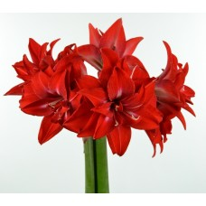 Din 20 Octombrie: Hippeastrum (amaryllis)  Double Delicious