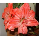 Din 25 Septembrie - Hippeastrum (amaryllis) Lady Jane