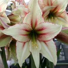 Hippeastrum (amaryllis) Magic Green, bulbi calitatea a II-a, taiat si curatat o mare parte din bulb