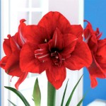 Hippeastrum (amaryllis) Red Peacock ®