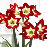 Din 20 Octombrie: Bulbi hippeastrum (amaryllis) Tres Chic ®